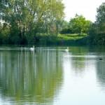 Cygnes sur le lac vert - Base de loisirs du Colvert