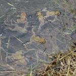 Rencontre lors des promenades à la campagne : des grenouilles
