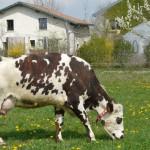 Derrière le gîte, les vaches paissent dans les prés