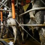 La traite laitière - Ferme bio en Meuse