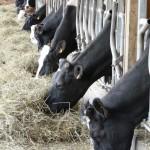 Les vaches broutent du foin