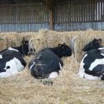 Vaches au repos dans le foin