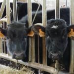 """Nos vaches - Ferme laitière Bio """"La Pouillotte"""" en Meuse"""