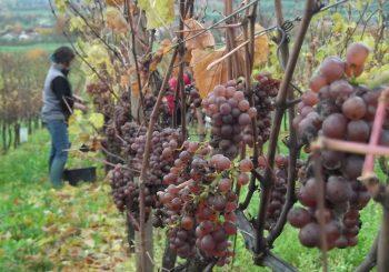 De la vigne mais surtout de la bonne agronomie