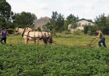Travail du sol avec 2 chevaux au Moulin aux champs